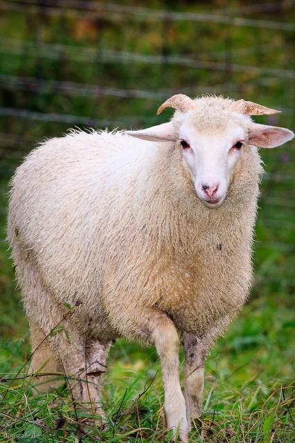 sheep_oct_2009-1