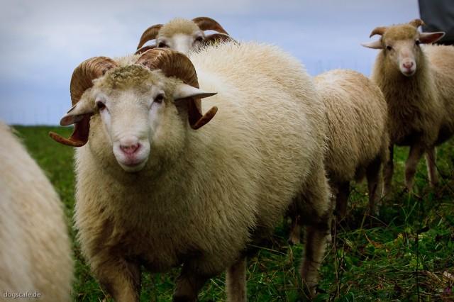 sheep_oct_2009-3