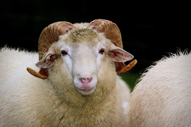 sheep_oct_2009-4