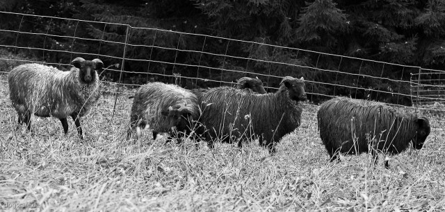 sheep_oct_2009-5