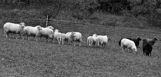 sheep_oct_2009-6