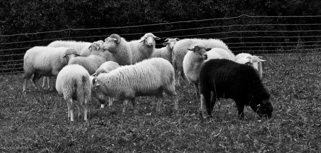 sheep_oct_2009-7